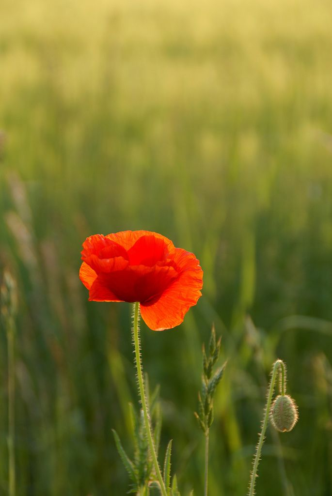 Amazing Beauty Of Red Poppy Flowers All About Fun