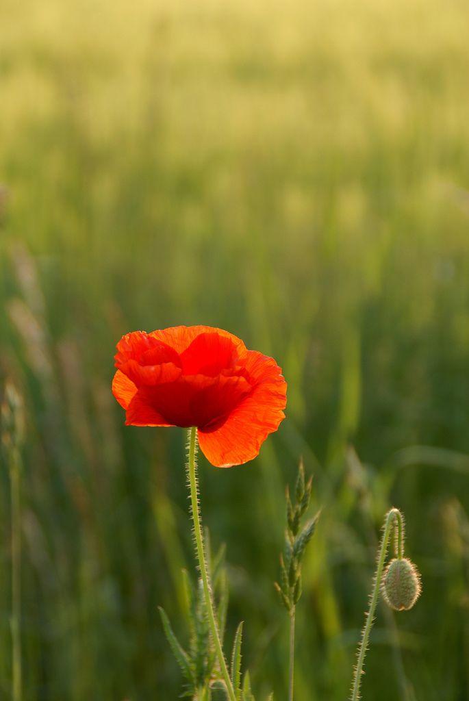 Red poppy flowers funzug org 03 all about fun amazing beauty of red poppy flowers red poppy flowers funzug org 03 mightylinksfo